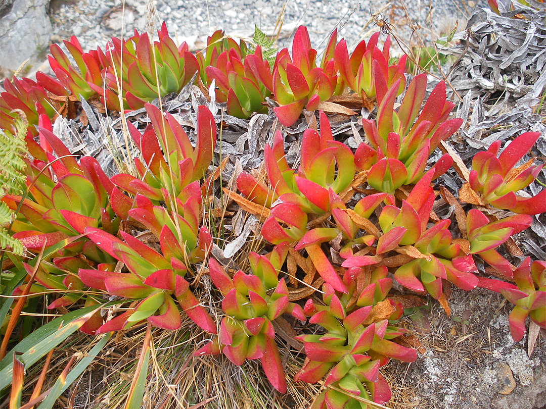 Ice plants sarpobrotus chilensis on the coast in late summer when