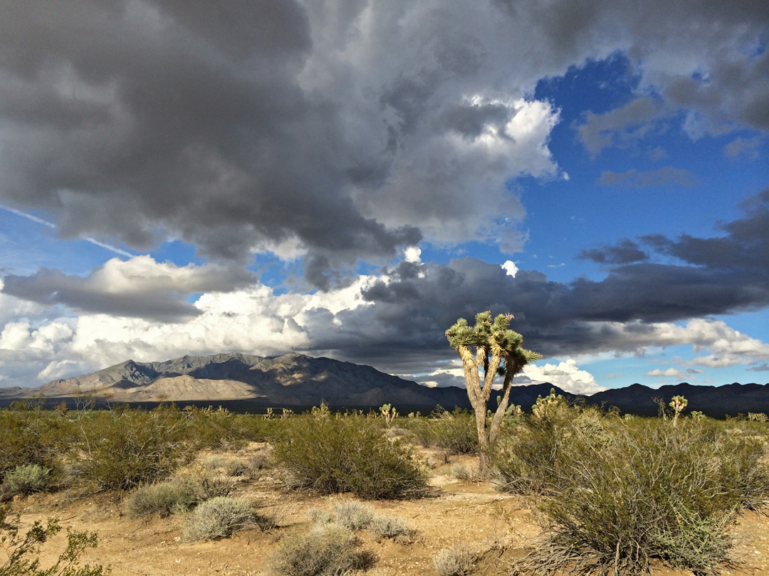 Clouds above Joshua trees