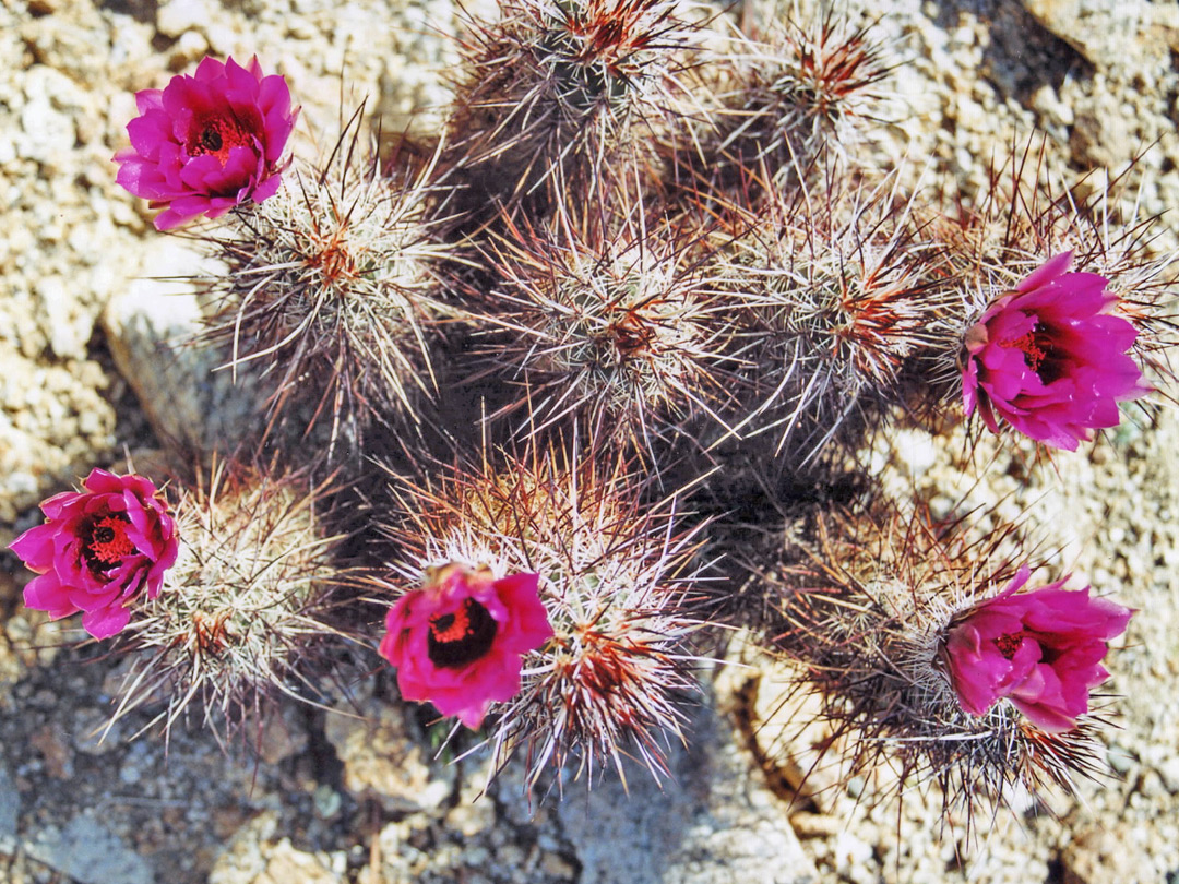 Group of Engelmann's hedgehog cacti