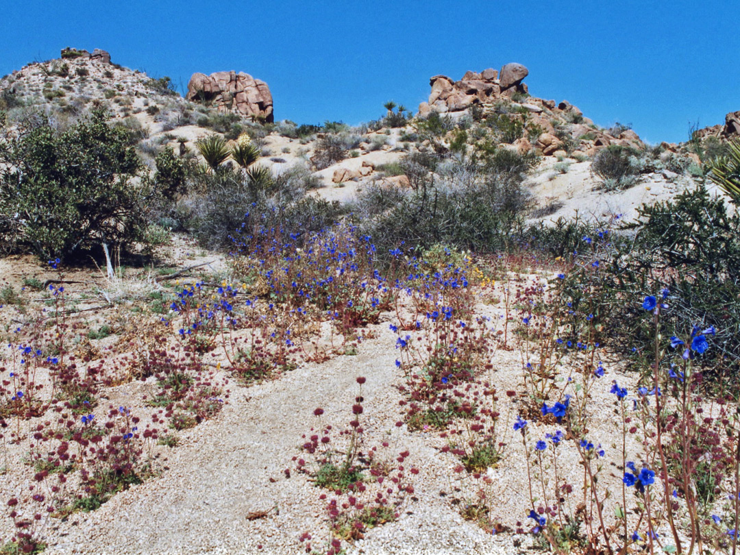 Desert bluebell in a dry wash