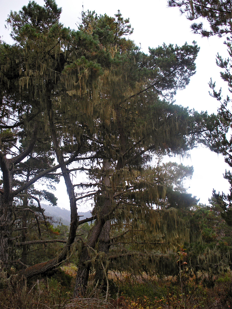 Pine tree with lace lichen