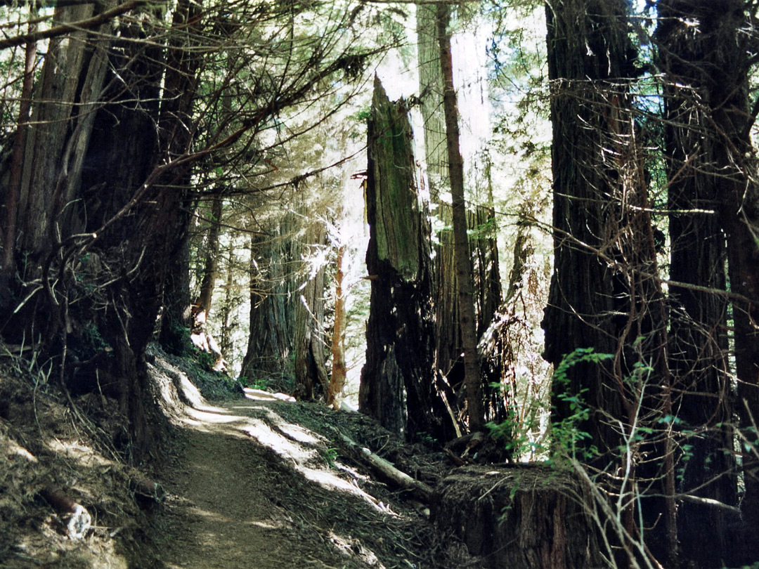 Miners Ridge Trail - ancient redwoods