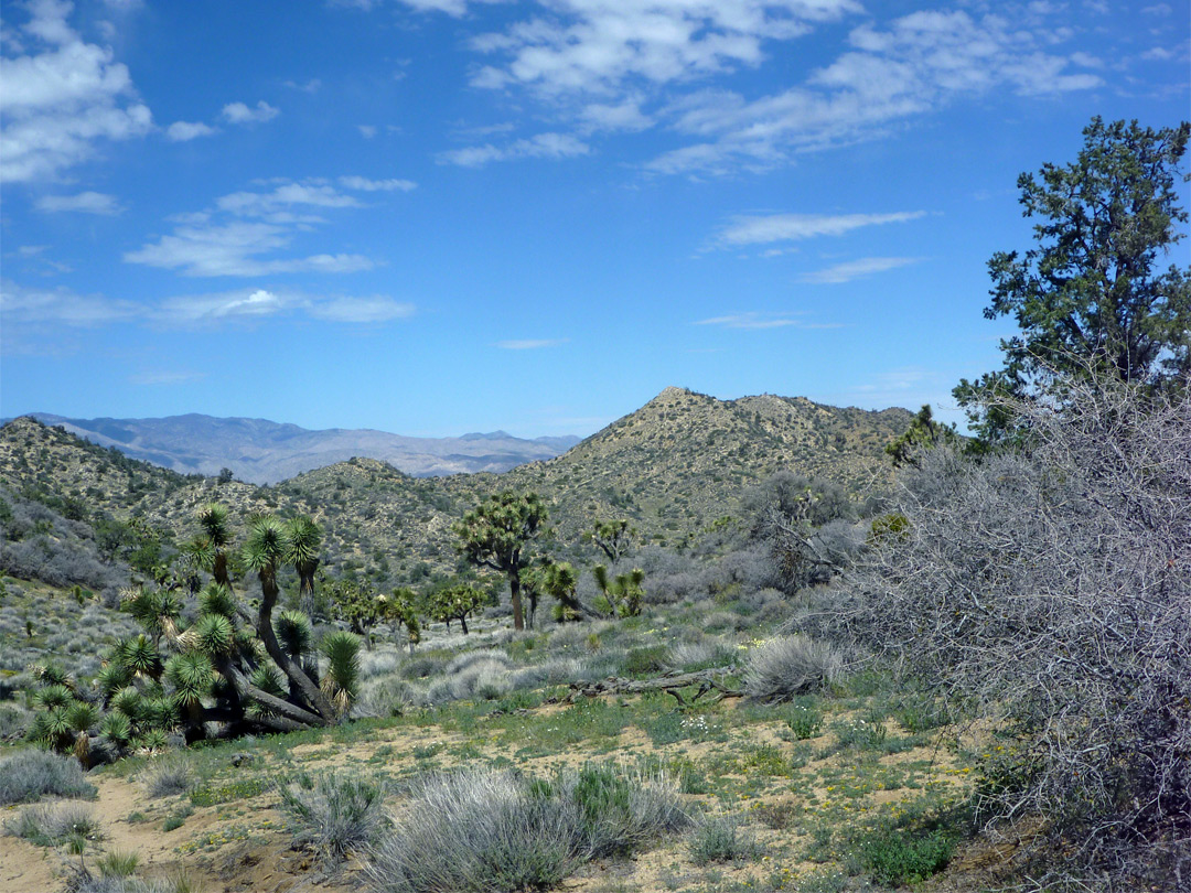 Hills and Joshua trees