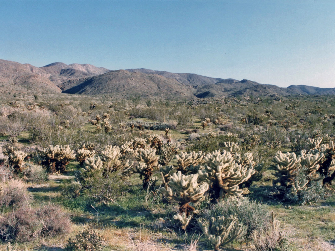 Cholla near Plum Canyon