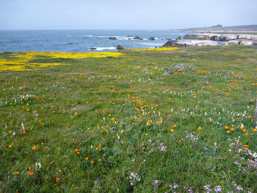 Wildflowers at Point Buchon