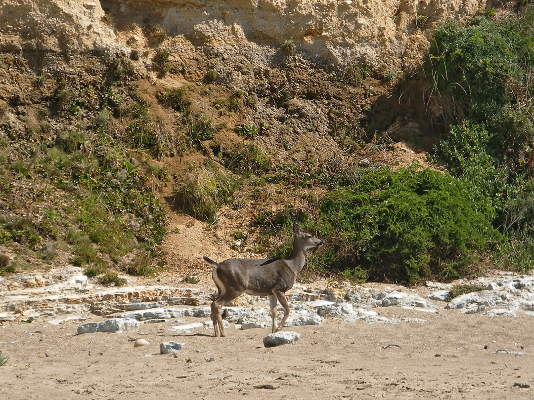 Black-tailed deer on the beach