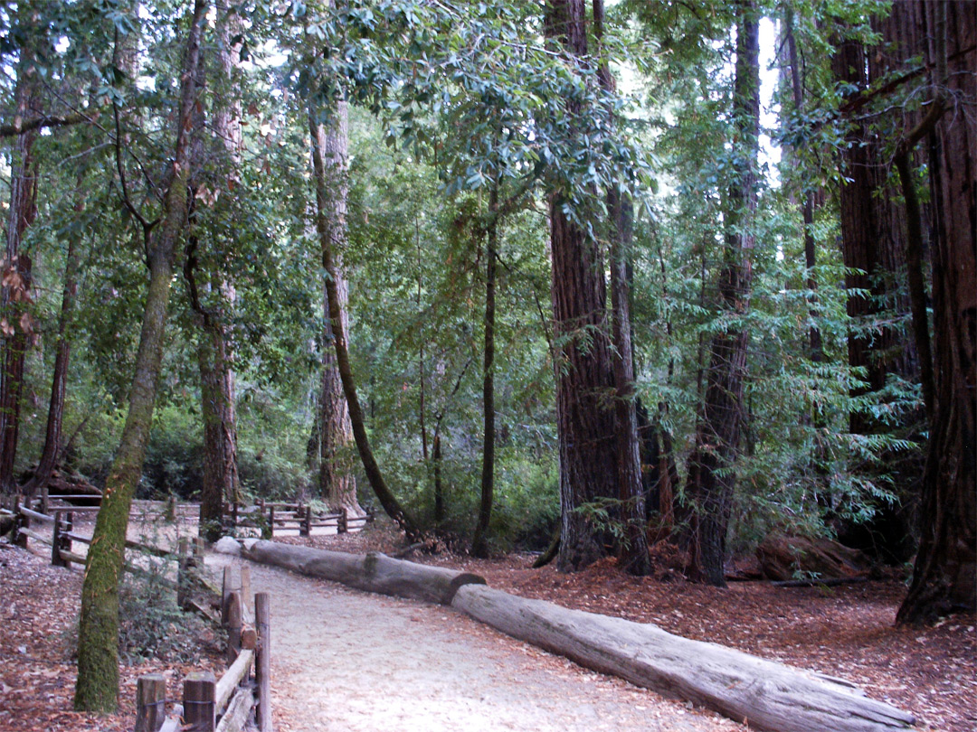 Trees along the Redwood Trail