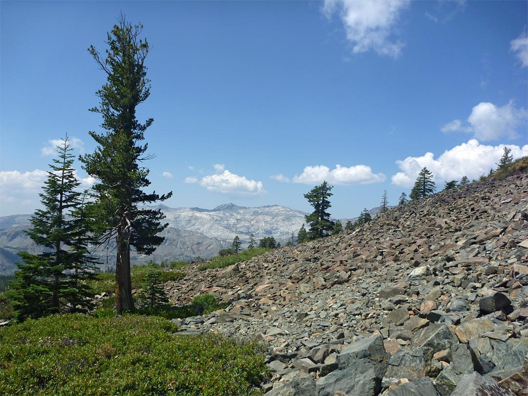 Tall Pine Tree Mount Tallac Trail Lake Tahoe California