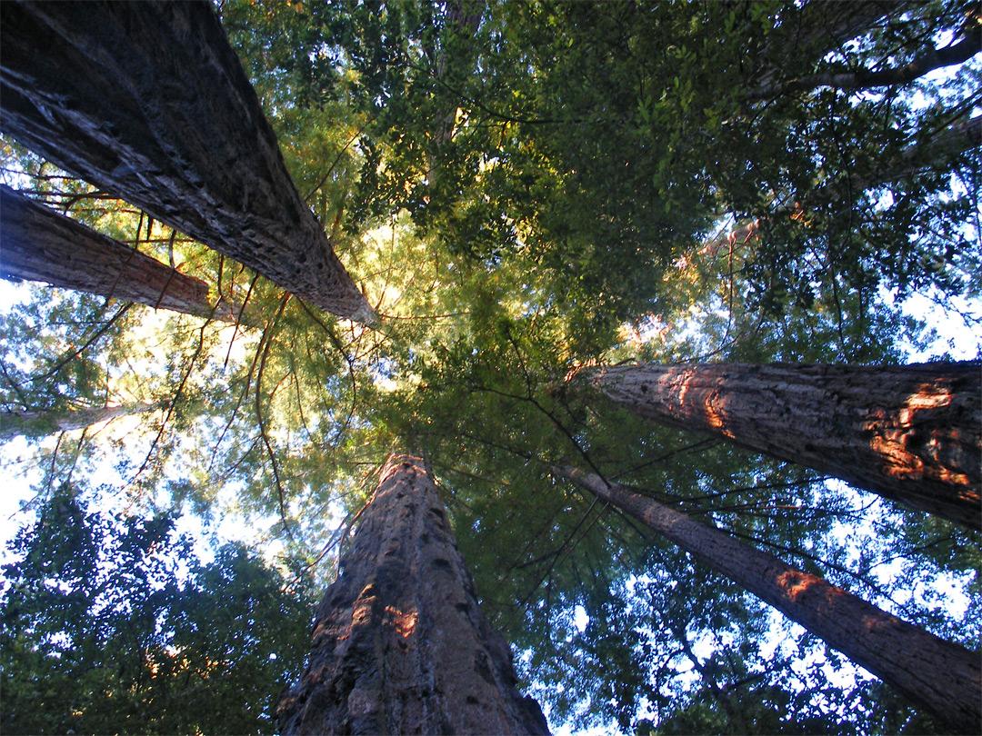 Tall Trees Big Basin Redwoods State Park California