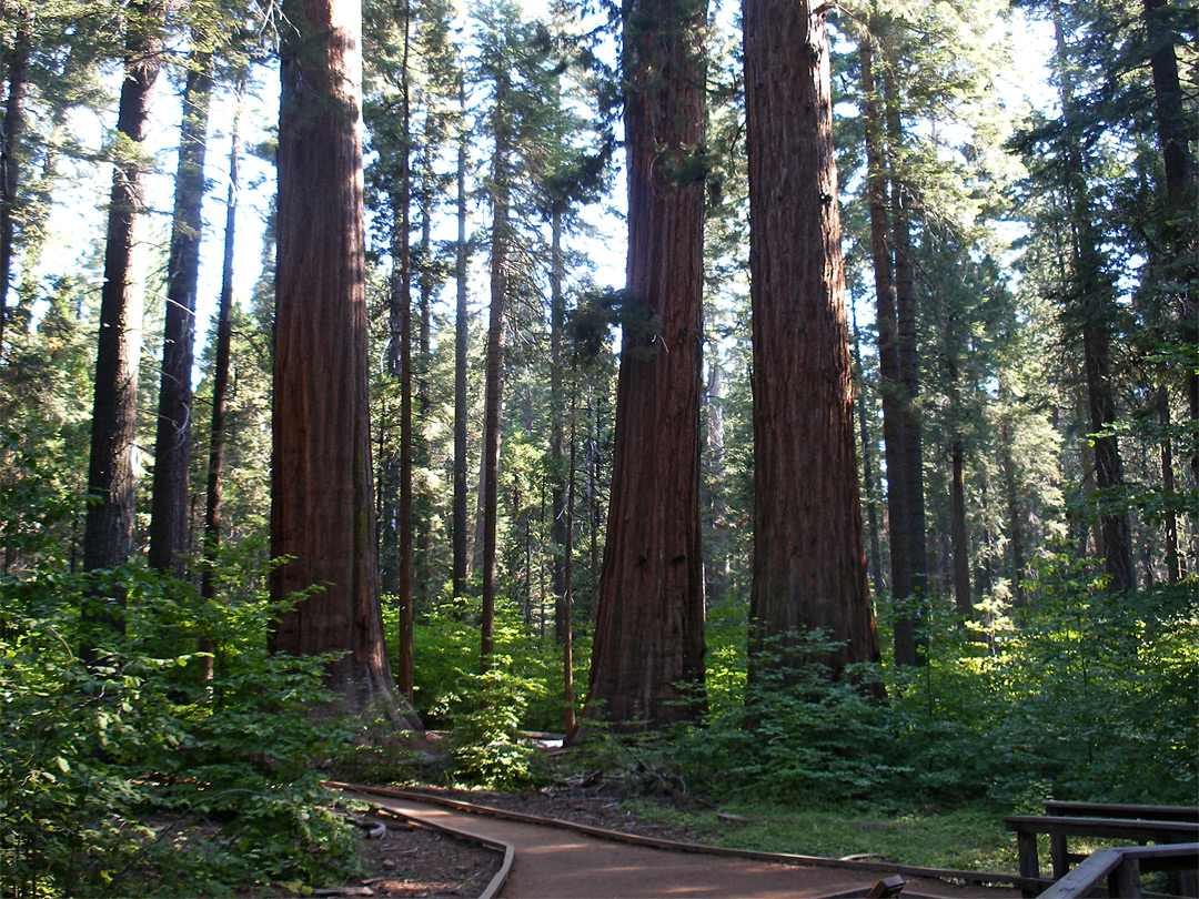 Three sequoia