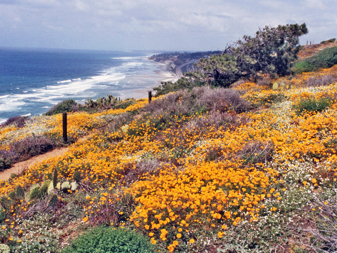 California poppies on the cliff edge