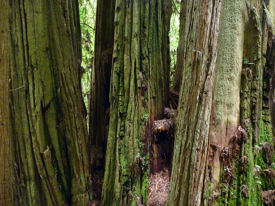 Group of redwoods