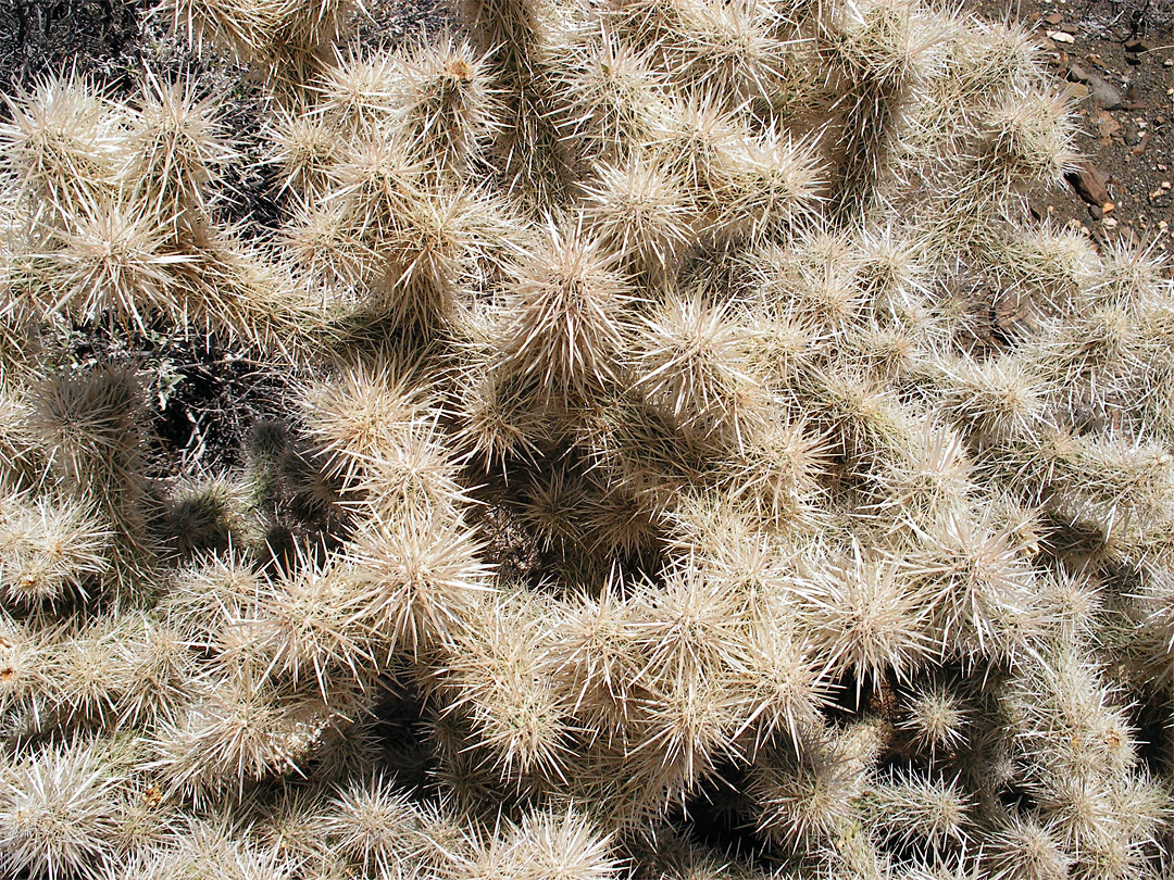 White-spined cholla