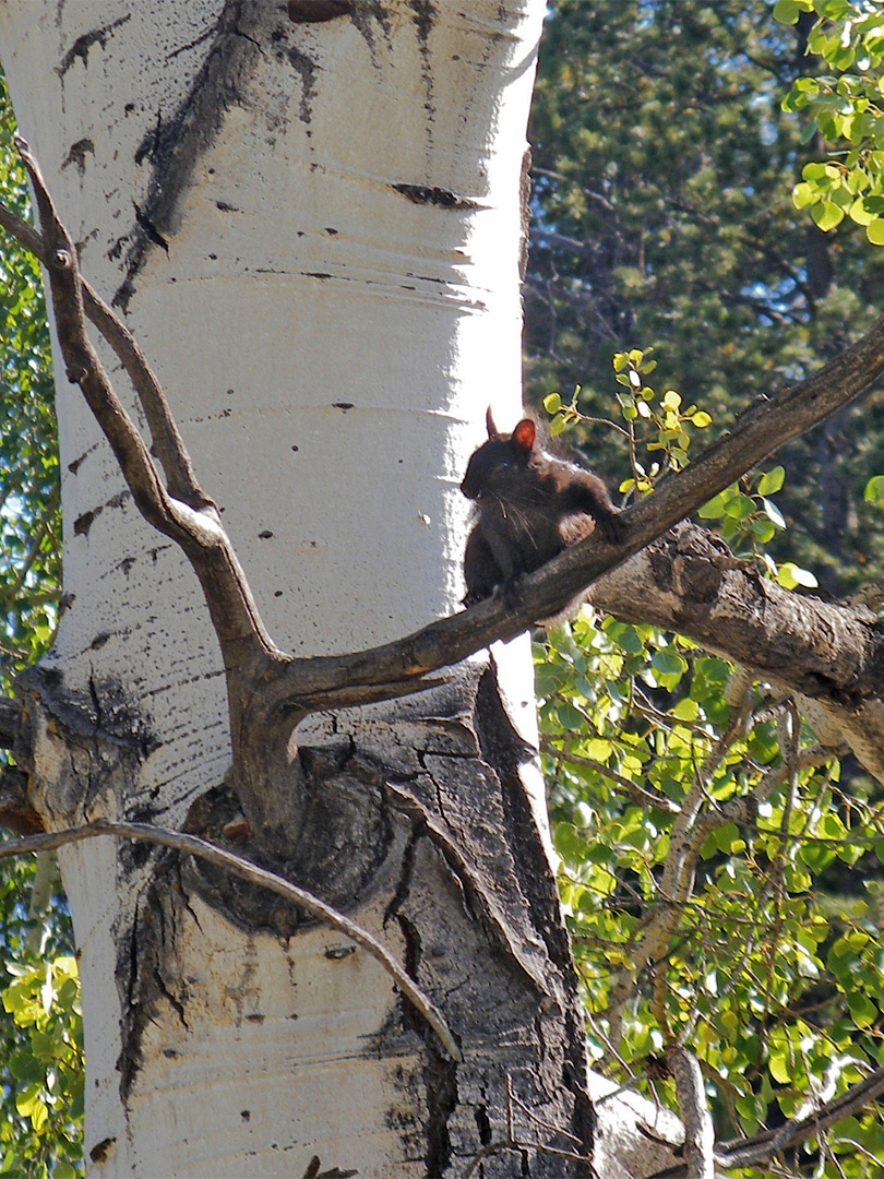 Abert's squirrel in aspen tree