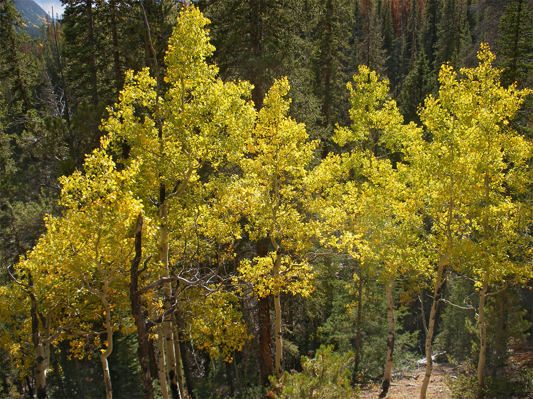 Yellow-leafed aspen