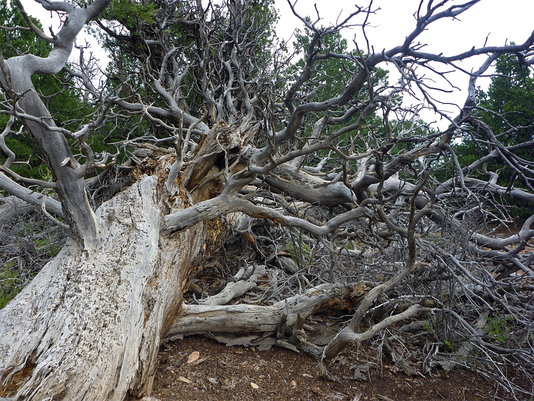 Fallen tree: North Vista Trail, Black Canyon of the ...
