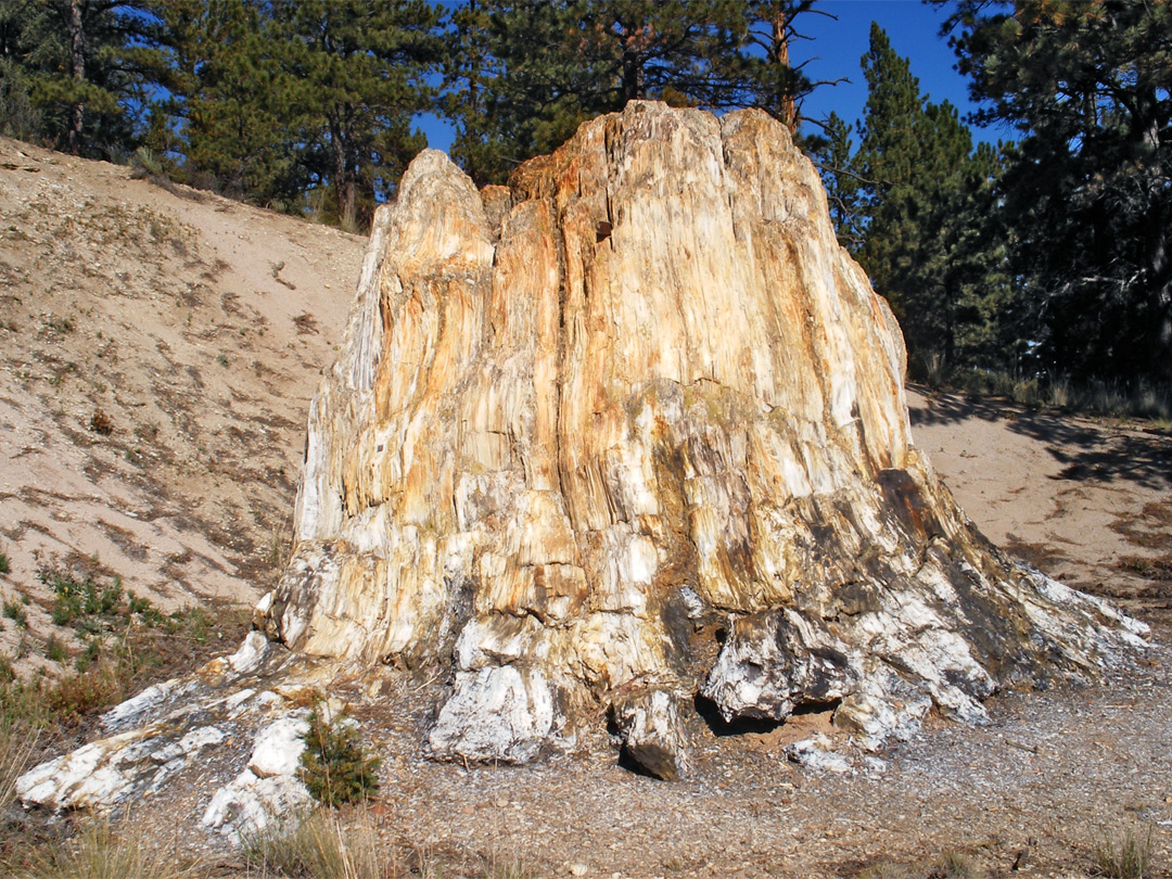 The Largest Sequoia Florissant Fossil Beds National