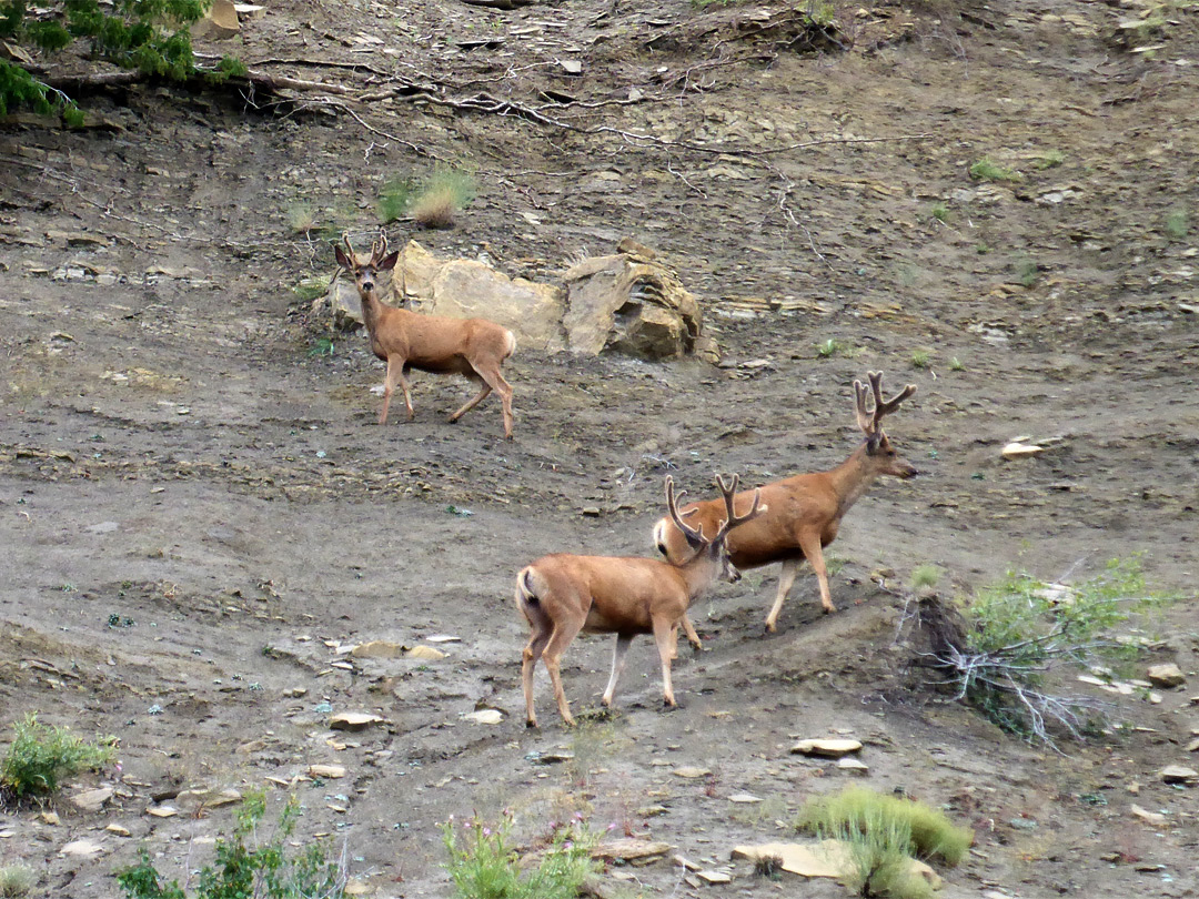 Three mule deer
