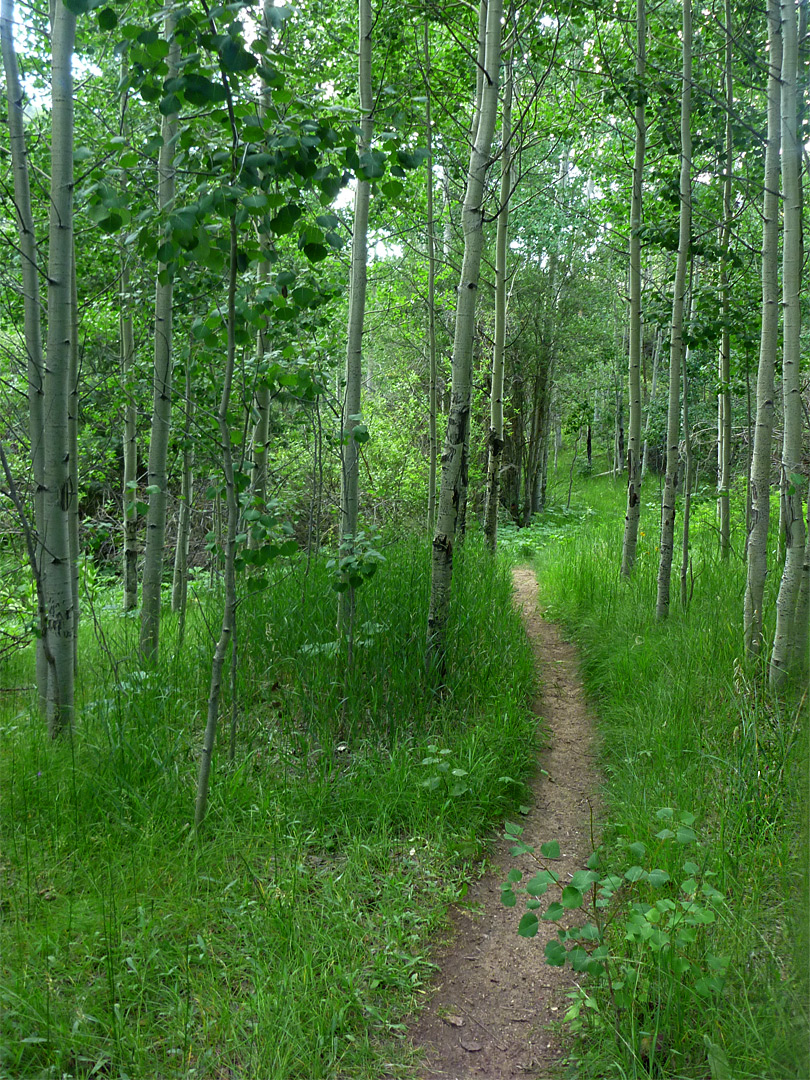 Path through aspen