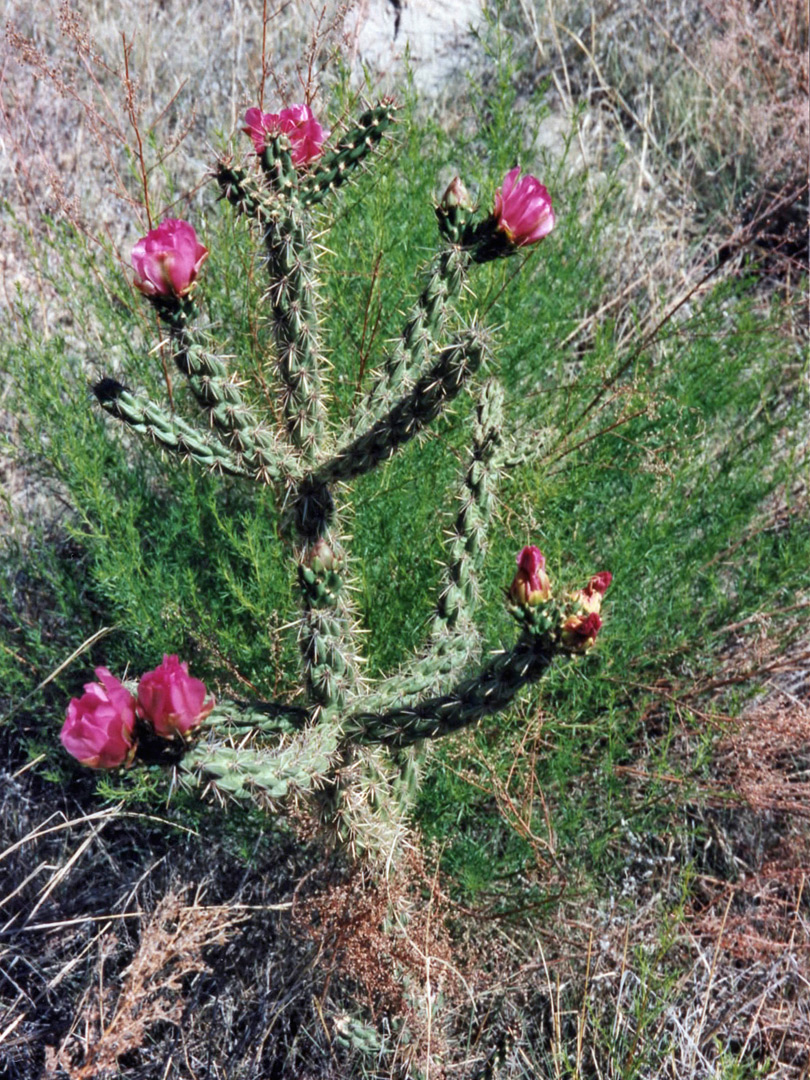 Purple-flowered opuntia