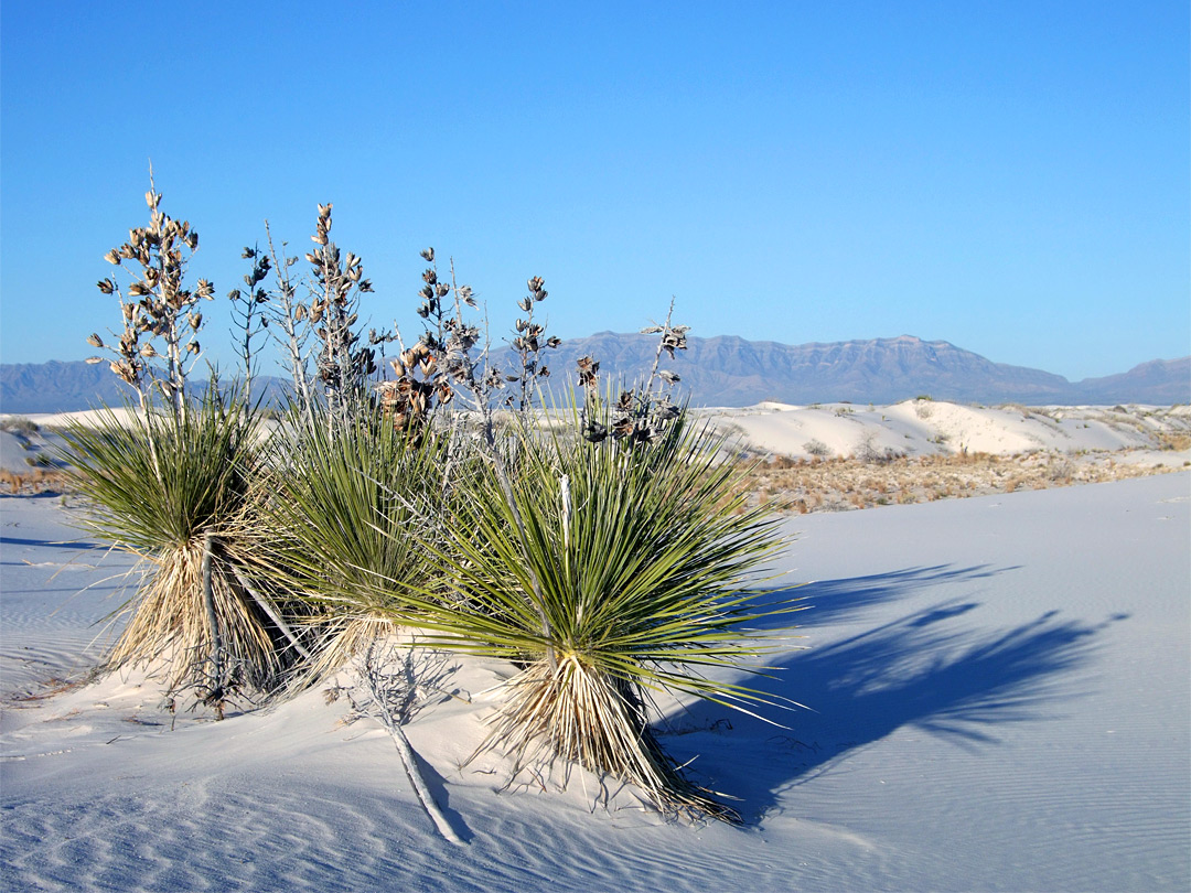 Group of soaptree yucca