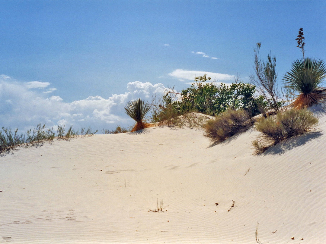 Yucca on the dunes