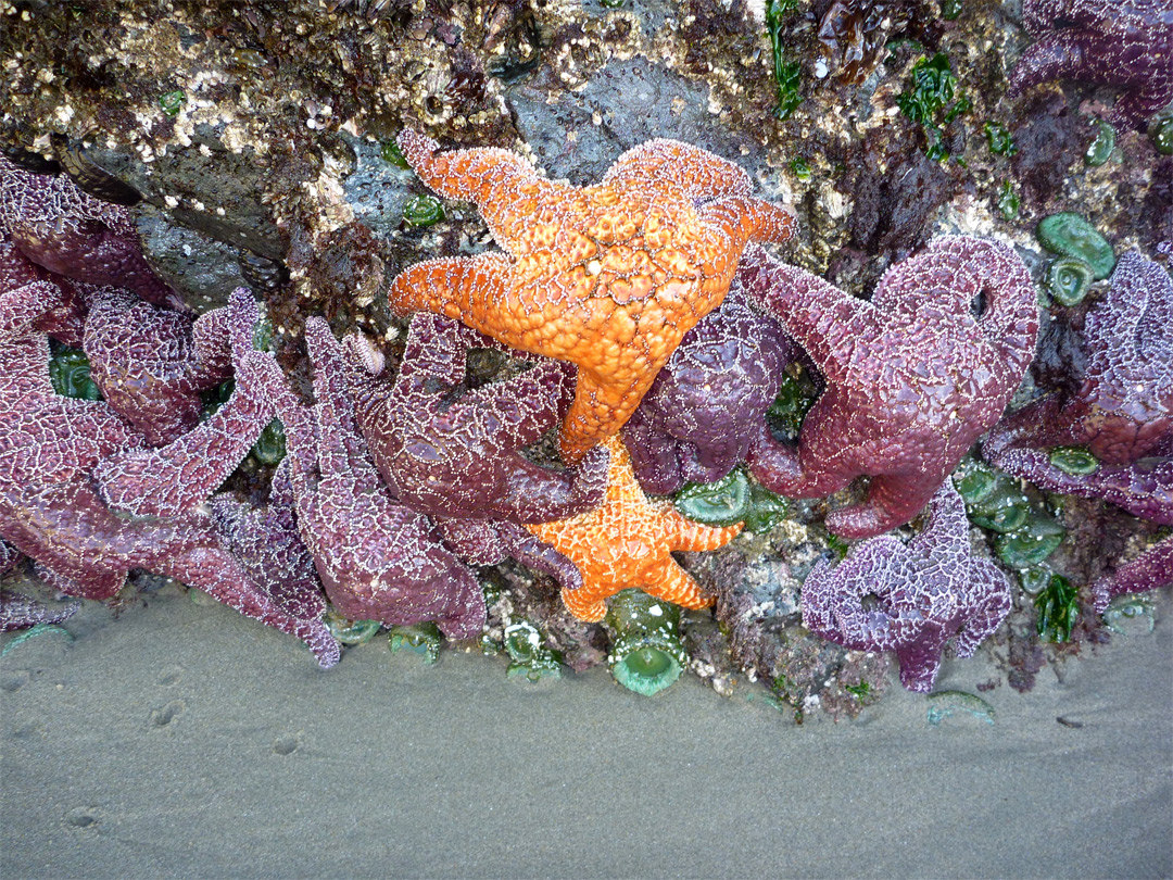 Sea stars on a rock