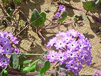 Beach Sand Verbena Abronia Umbellata