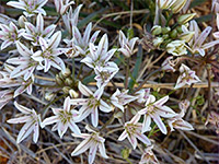 Allium macropetalum