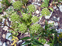 Angelica pinnata