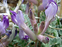Astragalus tephrodes
