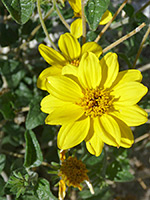 Yellow flower, Yellow flower of bahiopsis parishii, in Tubb Canyon, Anza Borrego Desert State Park, California