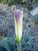 Bud - side view, Side view of an opening flower of datura wrightii; in Culp Valley, Anza Borrego Desert State Park, California