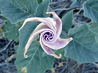 Opening bud, Bud of datura wrightii, starting to open; in Culp Valley, Anza Borrego Desert State Park, California