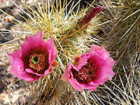 Flowers of echinocereus nicholii