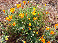 Antelope Valley wildflowers