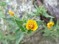 Orange-centered flower, Orange-centered flower of mentzelia albicaulis, in Tubb Canyon, Anza Borrego Desert State Park, California