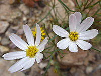 Nicolletia edwardsii