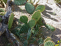 Chaparral prickly pear