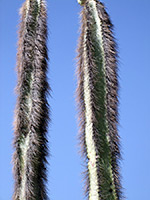 Hairy stems of pachycereus schottii