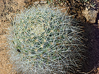 Mountain ball cactus
