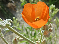 Orange flower, Orange flower of sphaeralcea ambigua, in Tubb Canyon, Anza Borrego Desert State Park, California
