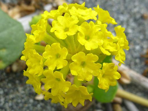 Yellow wildflowers of west and southwest usa abronia latifolia mightylinksfo