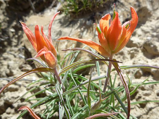 Wholeleaf Indian Paintbrush