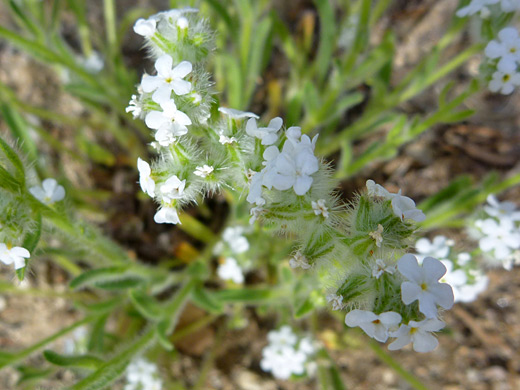 Narrow Leaved Cryptantha