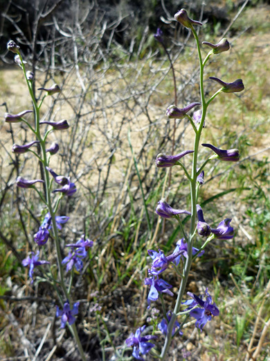 Parish's larkspur