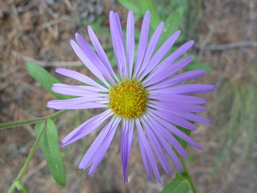 Hoary Tansy Aster