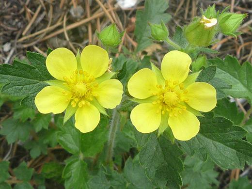 Wildflowers of rocky mountain national park colorado drymocallis fissa mightylinksfo