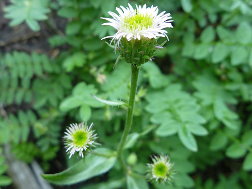Shortray Fleabane