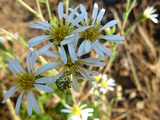 Roughleaf Aster